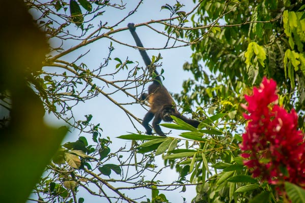 Howler Monkey at Yoga and Wellness Retreat in Costa Rica